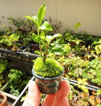 豆盆栽2.JPG
